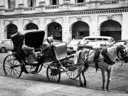 Cuban horse still